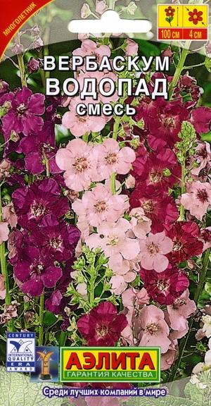 Многолетний цветок вербаскум